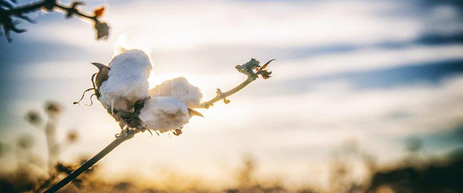 comprar algodón, venta de algodón, algodón reseña, mejor algodón, top algodón, barato, descuento algodón, pagar, oferta, ahora, compra online, envio gratis, Diferencias entre Algodón Orgánico vs Algodón Convencional, camas matrimoniales, camas 2019,